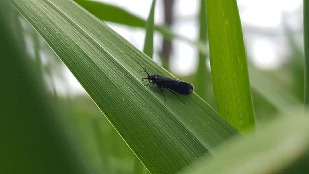 black caddis fly, adult caddis fly, caddis on leaf, black spring caddis, fly fishing caddis flies