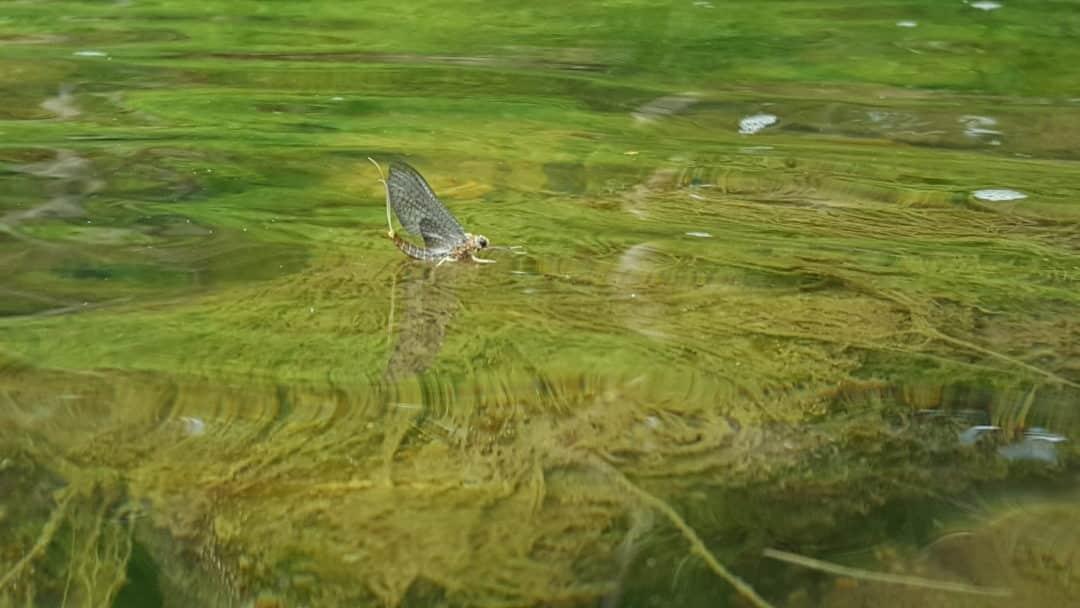 sulphur mayfly, sulphur flies, trout flies, mayfly dun, match the hatch