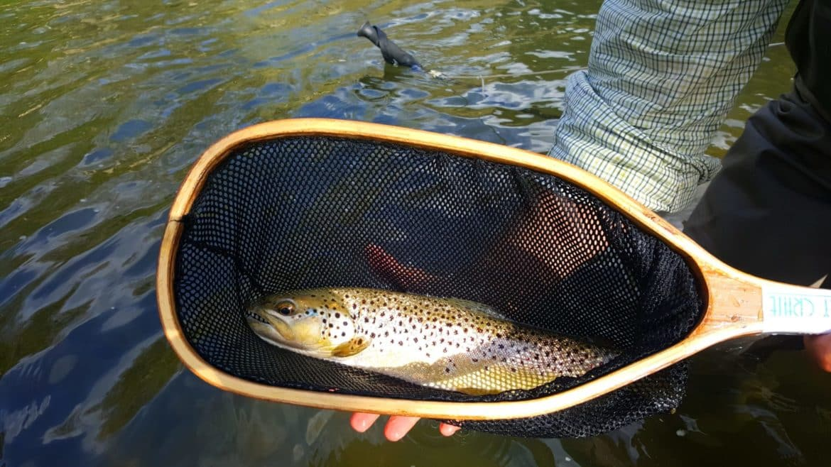 large brown trout, fly fishing for trout, penns creek fly fishing, march brown hatch, pennsylvania fly fishing