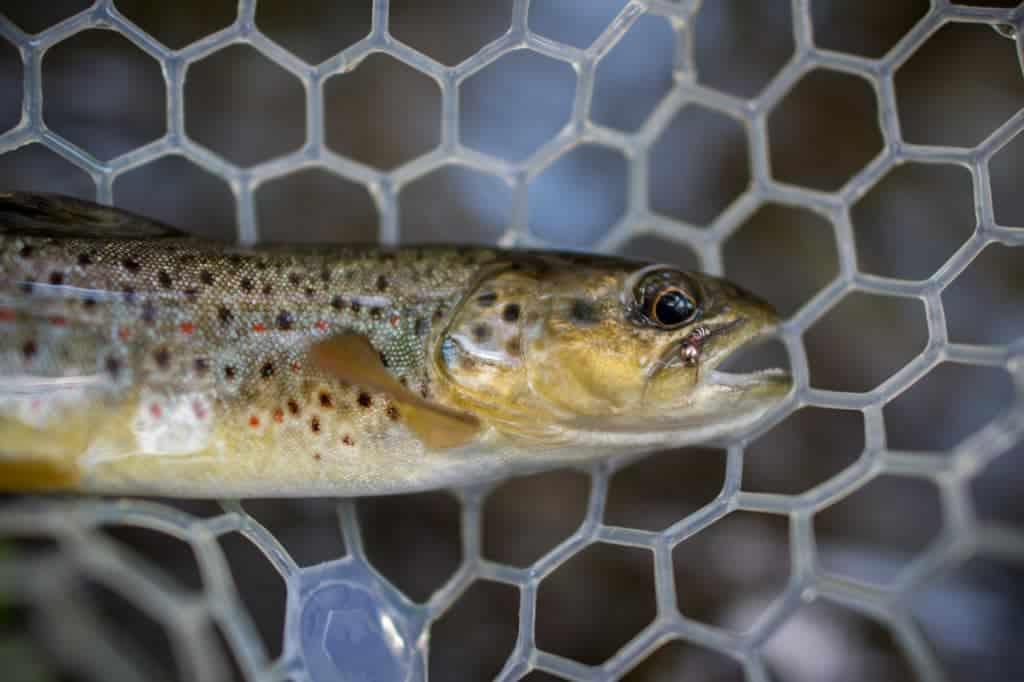 fly fishing net, rubber landing net, brown trout in net, brown trout caught, fly fishing for brown trout