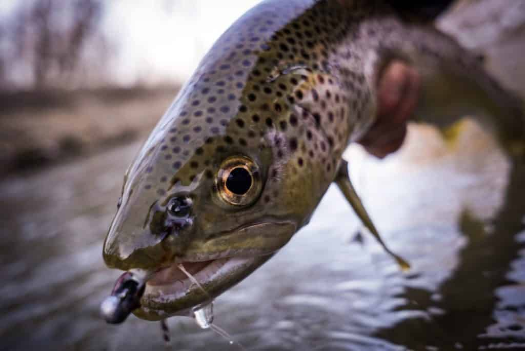 fly fishing jigs, jigged streamers, fly fishing with streamers, jigged streamers for winter fly fishing, brown trout, brown trout with fly in mouth